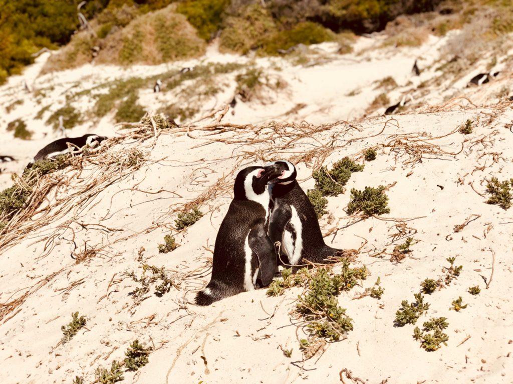 Guia de Sudáfrica | Vanesa Lorenzo |Simon's Town penguins